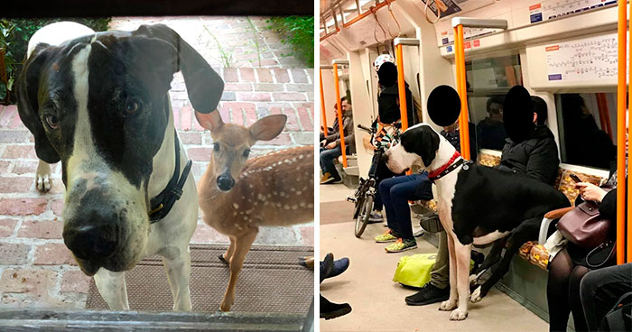 50 Great Danes Who Don't Understand How BIG They Are (New Pics)