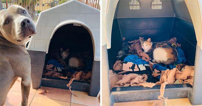 Pit Bull Kindly Asks Owners To Allow A Pregnant Cat Inside So It Can Give Birth