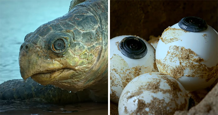 428K People Are Fascinated By This Robot Turtle Video Capturing 20,000 Turtles Laying Eggs In Costa Rica