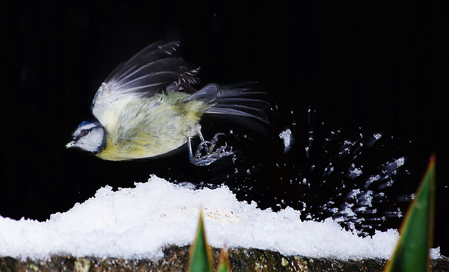 Blue Tit Taking Off In The Snow