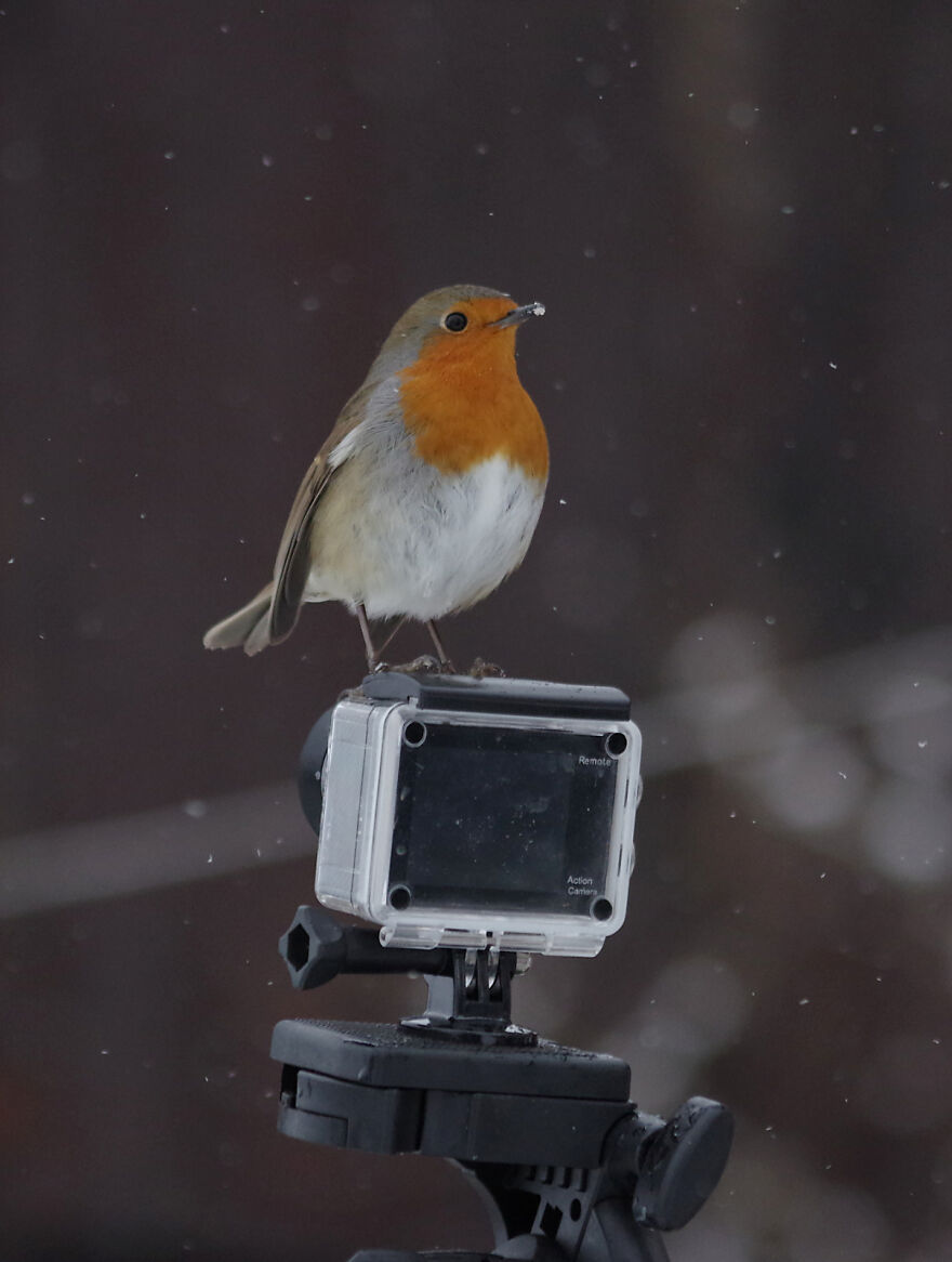 I Tried To Get Some Video Footage Of The Robins In The Snow, But They Had Other Ideas