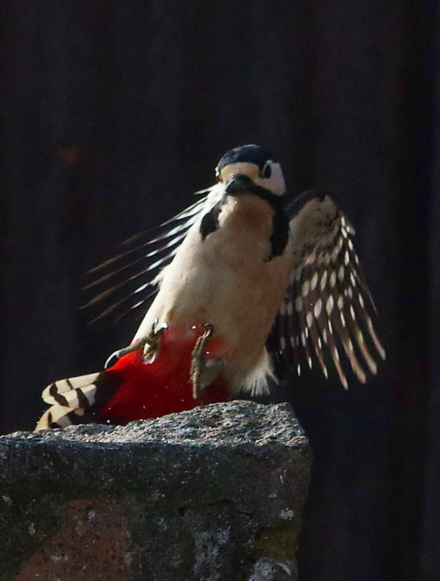 Woodpecker Coming In To Land