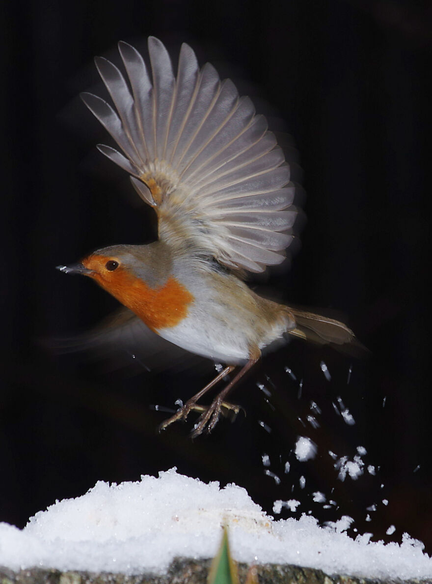 Robin Taking Off In The Snow. We Have Four Resident Robins Who Spend Most Of Their Time Trying To Chase Each Other Away