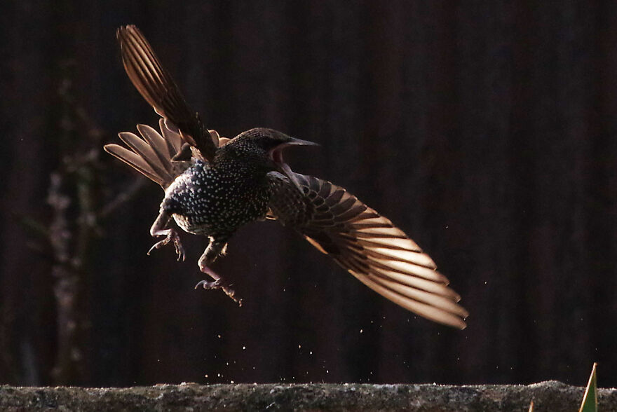 Starling About To Start A Fight