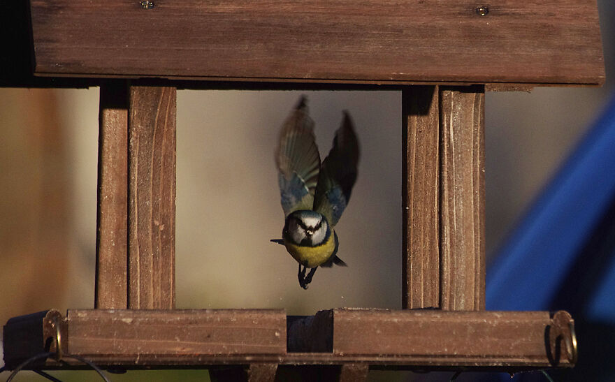 Blue Tit Taking Off From The Bird Table