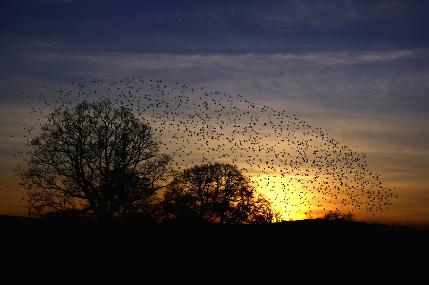 Every Evening Big Flocks Of Starlings Fly Over On Their Way To A Roost Site In The Hills. There Are Many Thousands In Total, This Is Just A Small Part Of One Flock