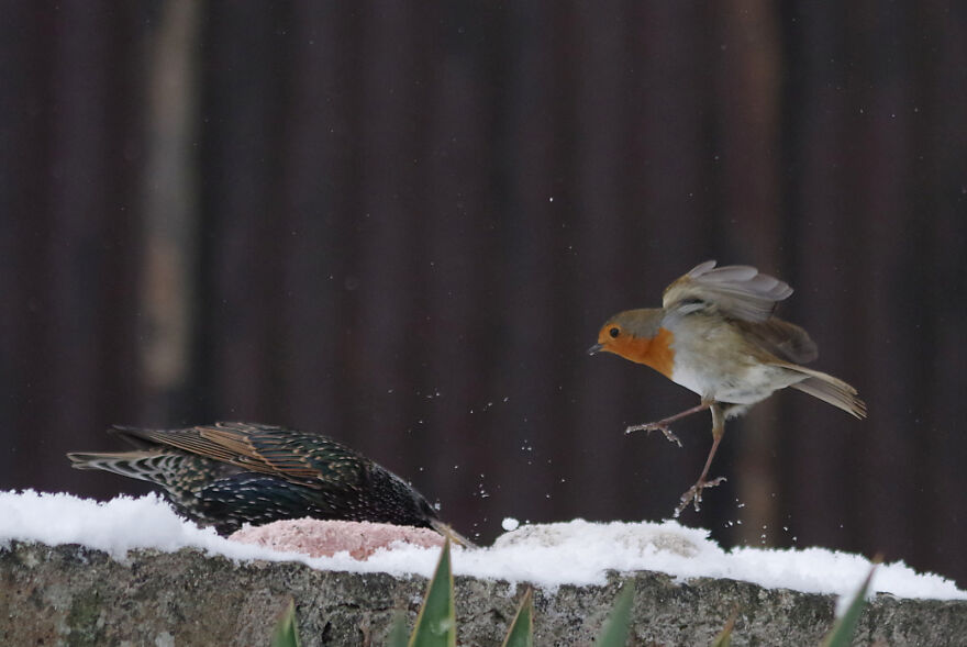 Karate Robin And A Starling