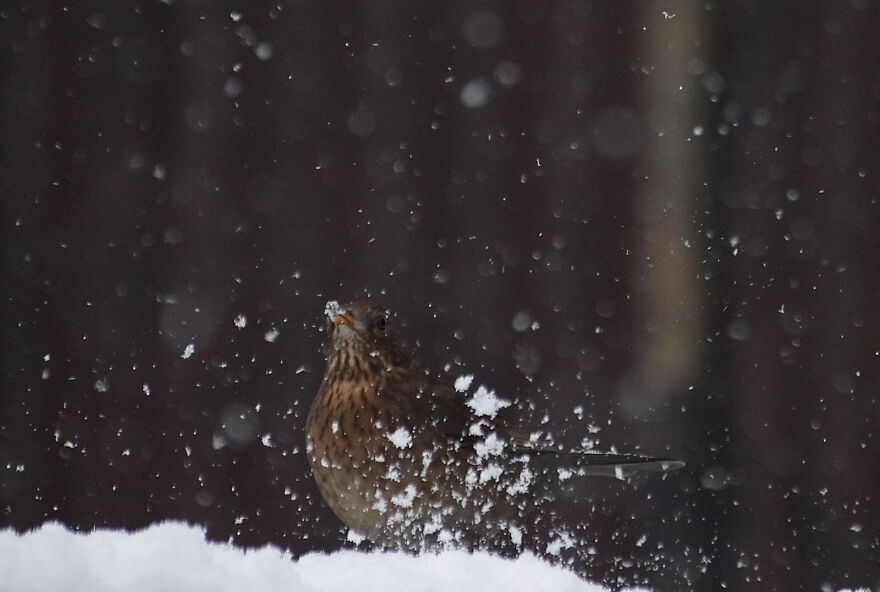 Blackbird In The Snow. Blackbirds Tend To Be Messy Eaters, Especially When The Food Is Covered In Snow