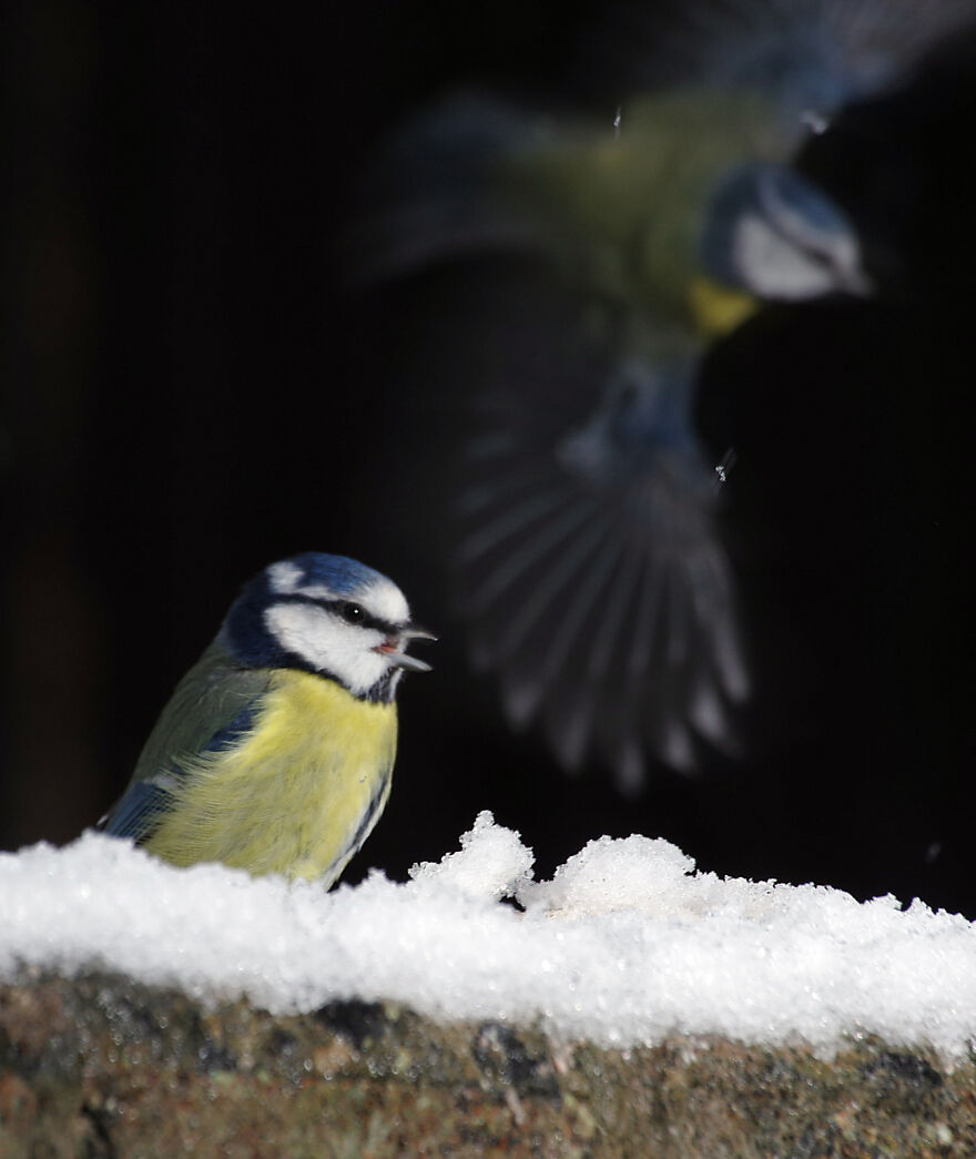Blue Tits In The Snow