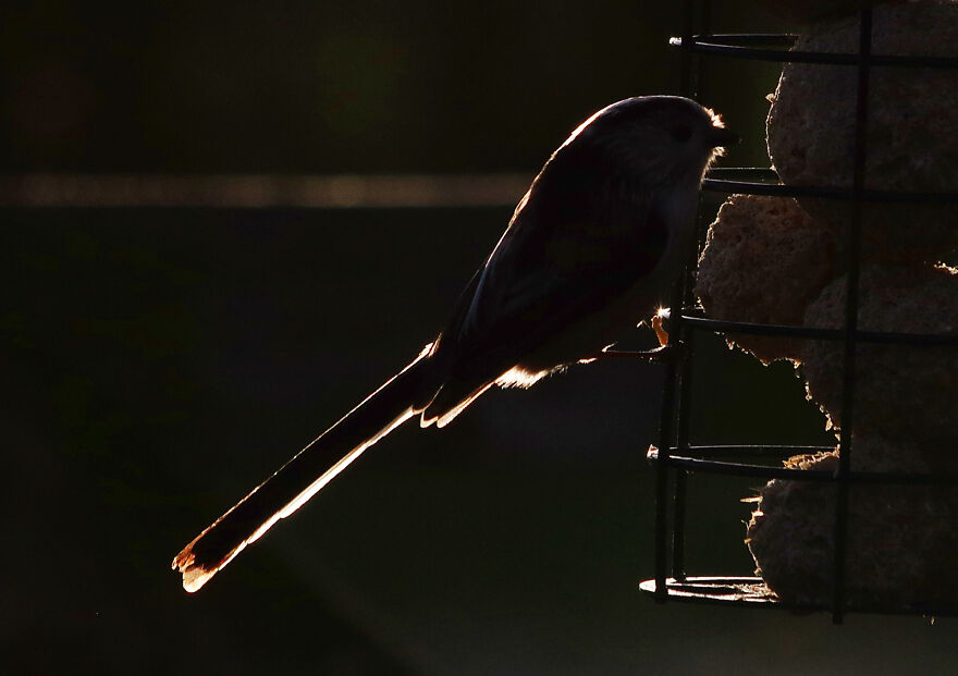 Long-Tailed Tit At Sunset