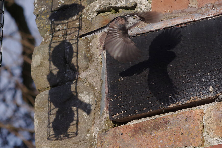 Me And My Shadow. A Long-Tailed Tit Making A Sharp Exit As A Starling Lands On The Feeder