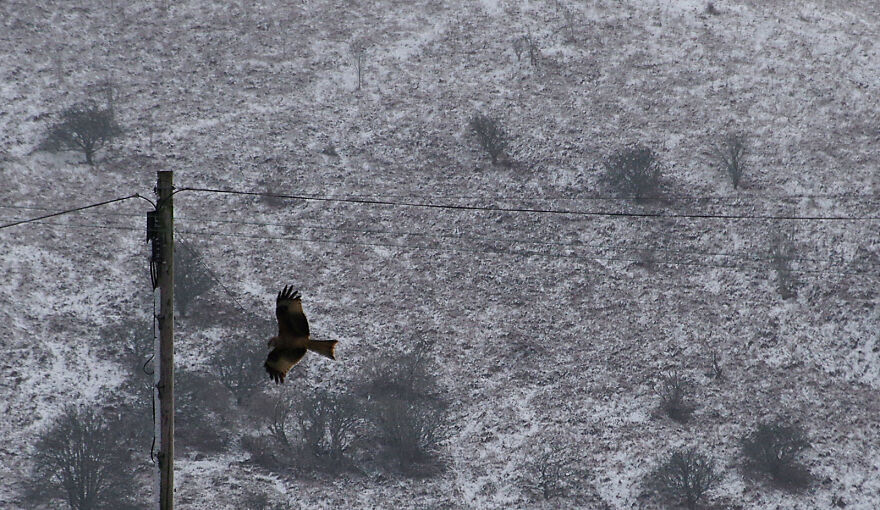 Red Kite Hunting In The Snow. We Are On The Edge Of The Berwyn Mountains In Wales And Often Get Visits From Red Kites