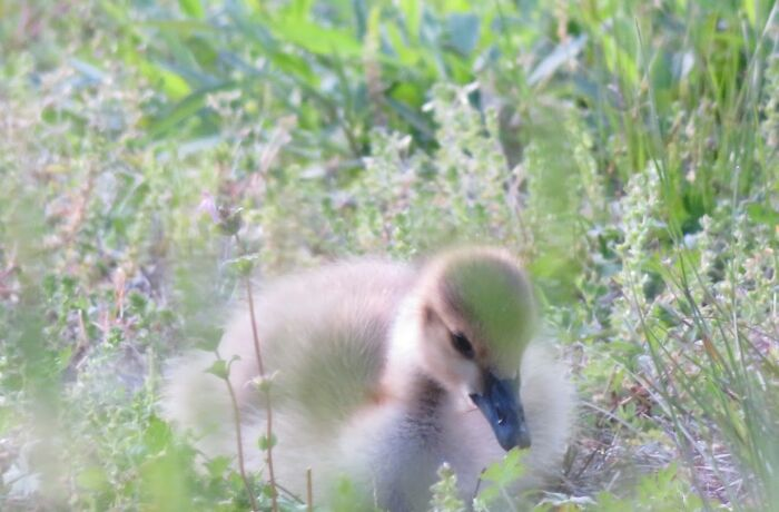 A Baby Goose In The Grass