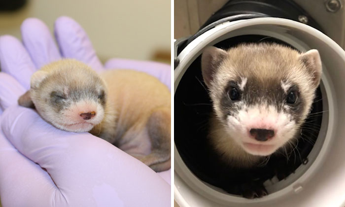 Scientists Successfully Clone A Ferret That Died In 1988, And This Might Be A Way Of Protecting Endangered Species