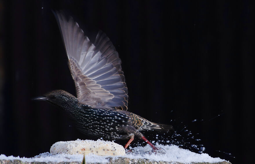 Starling Taking Off In The Snow