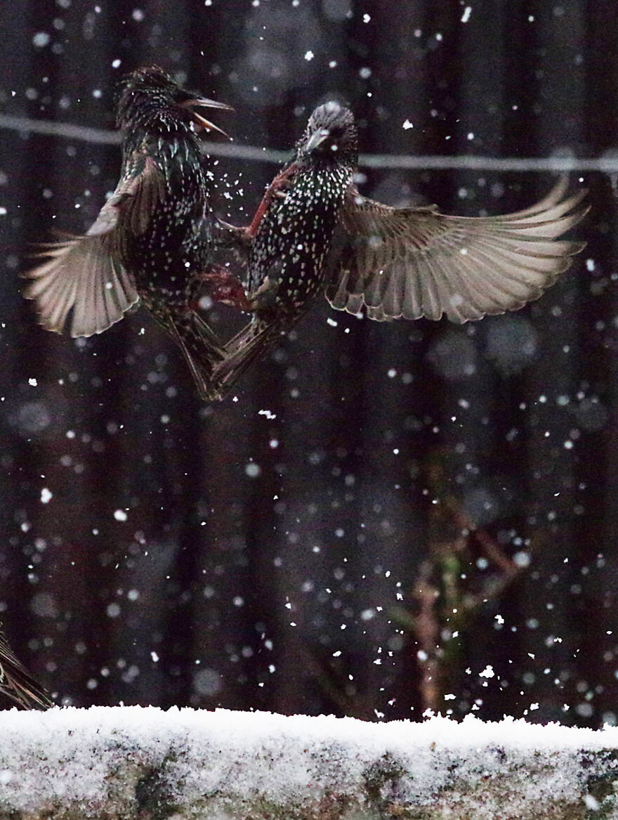 Starlings Fighting In The Snow