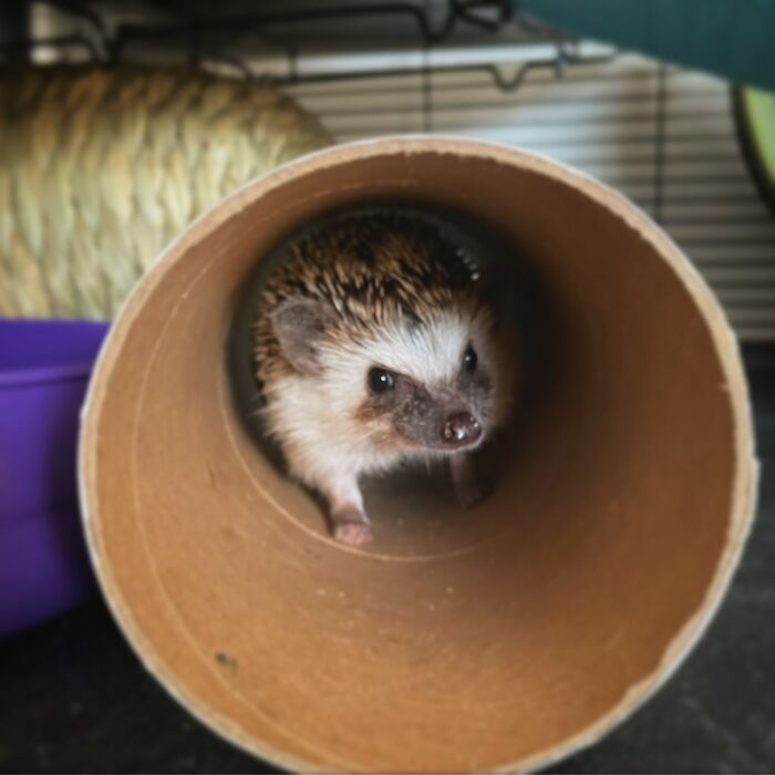 My Hedgehog, Chutney, In Her Favourite Paper Towel Tube