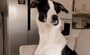 This Borzoi And German Shepherd Mixed Dog Has A Very Long Neck
