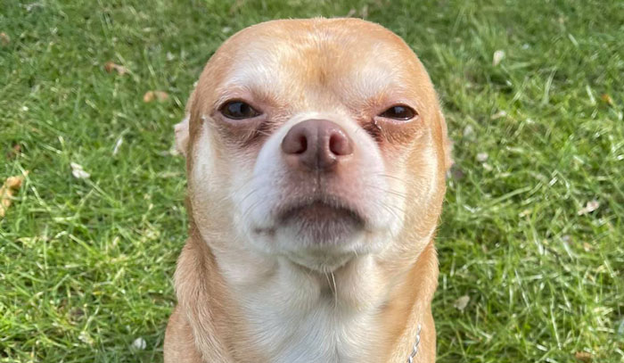Adoption Post Honestly Lists Everything That's Wrong With This Demonic Chihuahua And It Goes Viral
