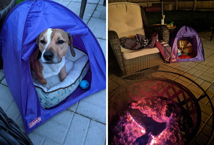 """What Do You Do When You Find A Mini Coleman Tent Meant For An 18"""" Doll At Goodwill And You Don't Have Any Kids Or Dolls? You Get It For Your Dog, Of Course"""