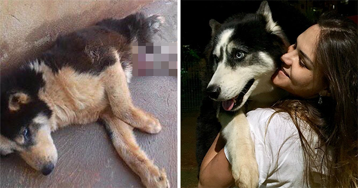 Owners Exploited This Husky Until She Could No Longer Walk And Produce Puppies – This Woman Gave Her A Second Chance In Life