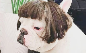 50 Funny Pics Of Dogs With Wigs That Will Brighten Your Day